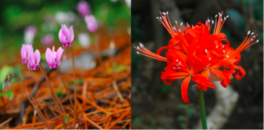 六甲高山植物園「原種シクラメンとダイヤモンドリリー展」開催