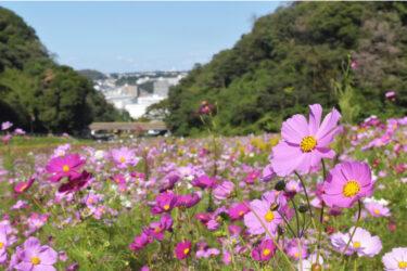 横須賀市くりはま花の国、約100万本のコスモス花畑が開花リレー